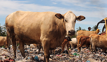Diary of Cattle (Indonesia)