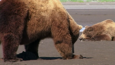 Grizzly Man (United States)